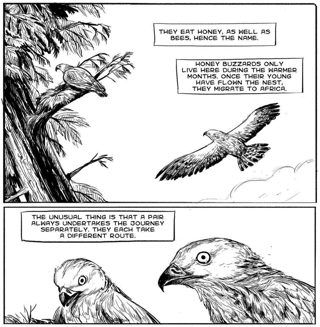 honeybuzzard_5